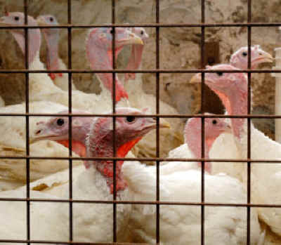 caged turkeys