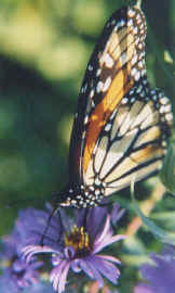 cc-monarch2.jpg (7807 bytes)