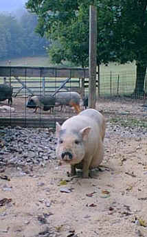 pig-dolly1.jpg (24086 bytes)