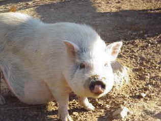 pig-dolly2.jpg (16974 bytes)