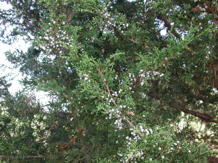 Eastern Red Cedar Varieties ~ Eastern red cedar juniperus virginiana flowering