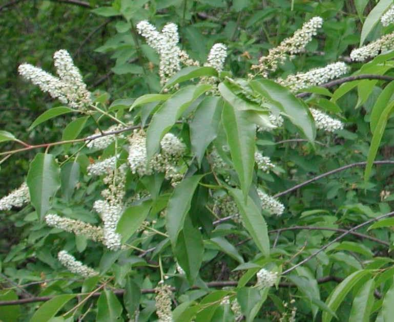 Wild black cherry prunus serotina flowering trees bushes and fragrant white flowers wild black cherry prunus serotina 06a mightylinksfo Gallery