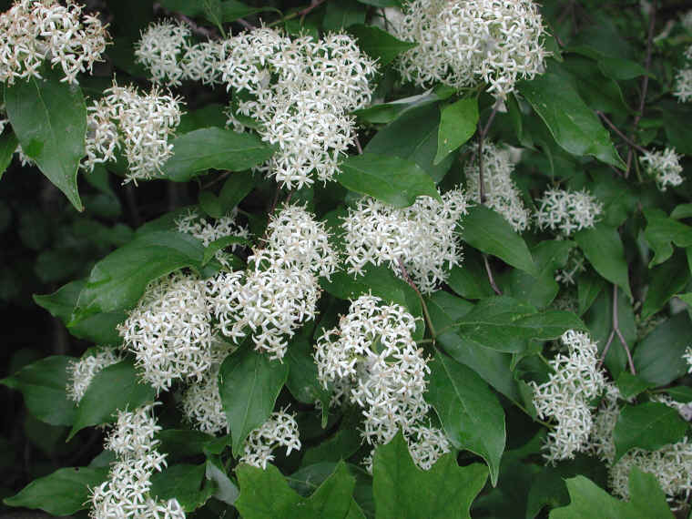 Gray dogwood cornus racemosa lam 02 flowering trees bushes gray dogwood cornus racemosa lam 02 mightylinksfo