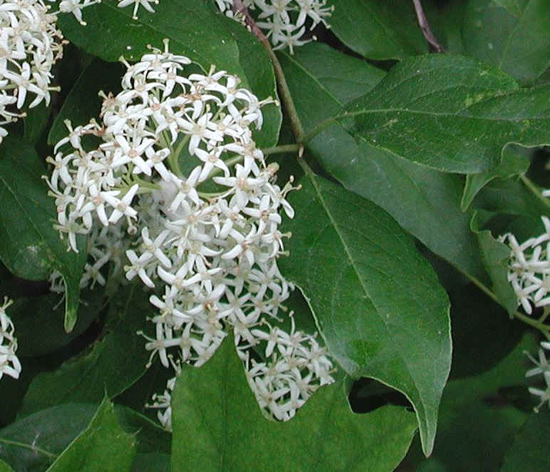 Tree with 4 petal white flowers images flower decoration ideas gray dogwood cornus racemosa lam flowering trees bushes and gray dogwood cornus racemosa lam 02a mightylinksfo mightylinksfo