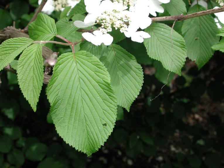 Hobblebush Viburnum Lantanoides Or Viburnum Alnifilium