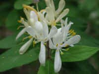 Honeysuckle, Morrow