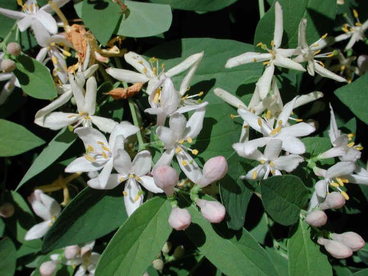 Tartarian Honeysuckle Lonicera Tatarica 02 Flowering