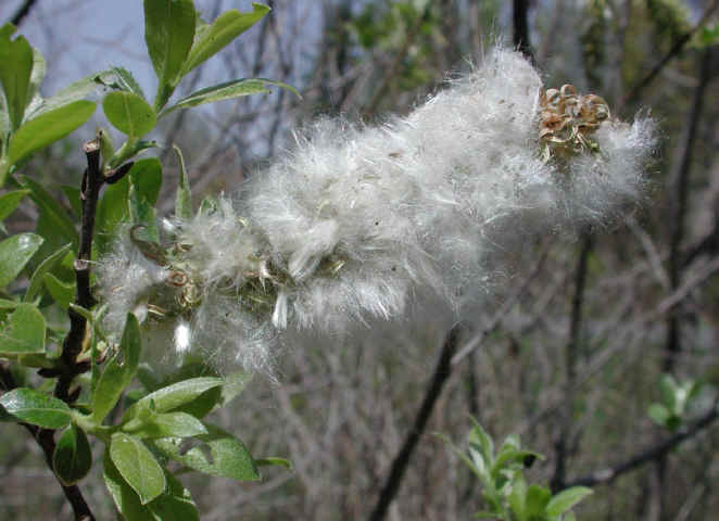 Pussy willow seed moms