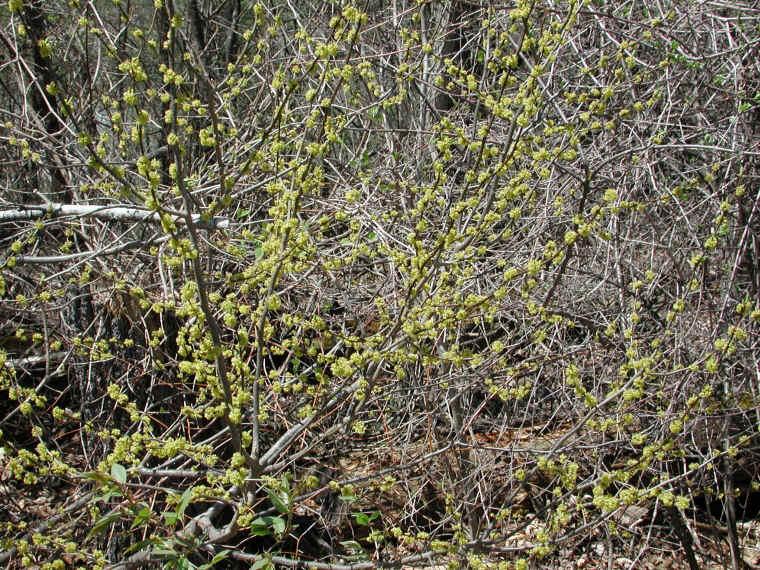 spice bush or spicebush lindera benzoin 22 flowering