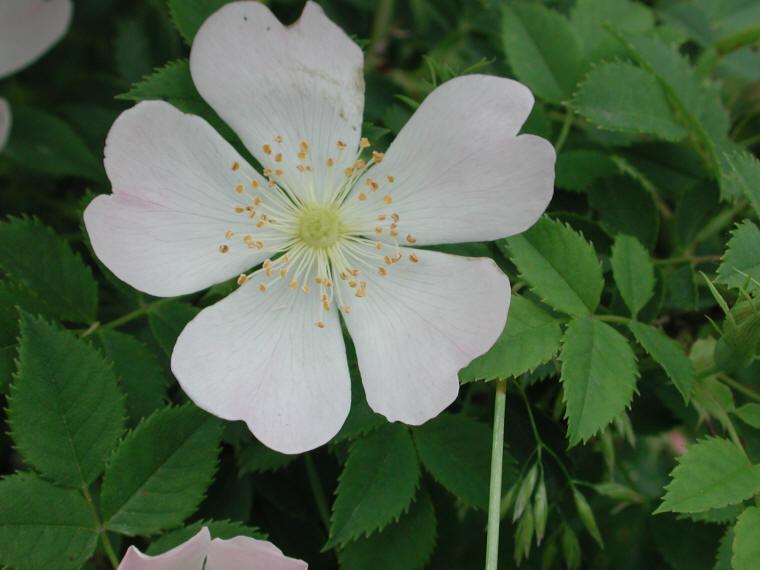 Wild Rose, Small White Rambling (Rosa multiflora) - 08 - Flowering ...