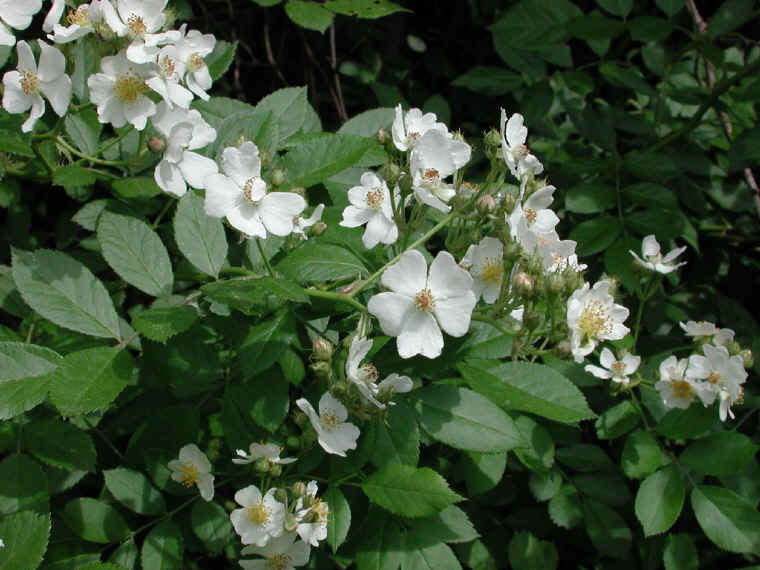 Wild Rose Small White Rambling Rosa Multiflora 02 Flowering