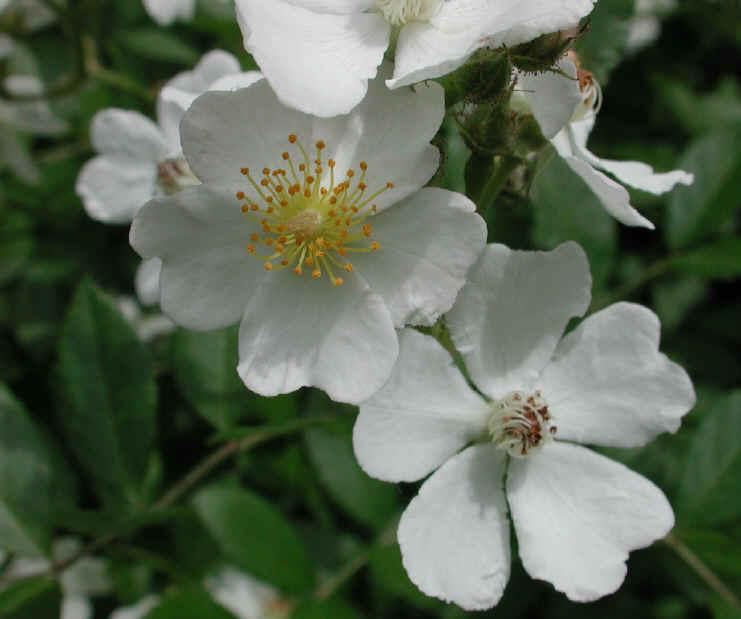 Wild rose small white rambling rosa multiflora 03 flowering wild rose small white rambling rosa multiflora 03 mightylinksfo