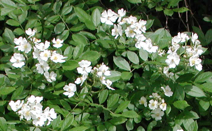 Wild rose small white rambling rosa multiflora 05 for White flowering bush