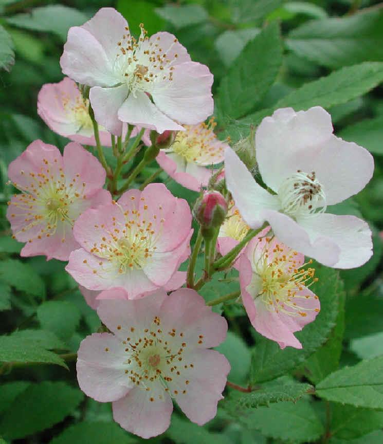 wild rose small pink rambling rosa multiflora 07. Black Bedroom Furniture Sets. Home Design Ideas