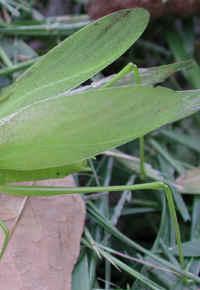Katydid Grhoppers Tettigoniidae 04