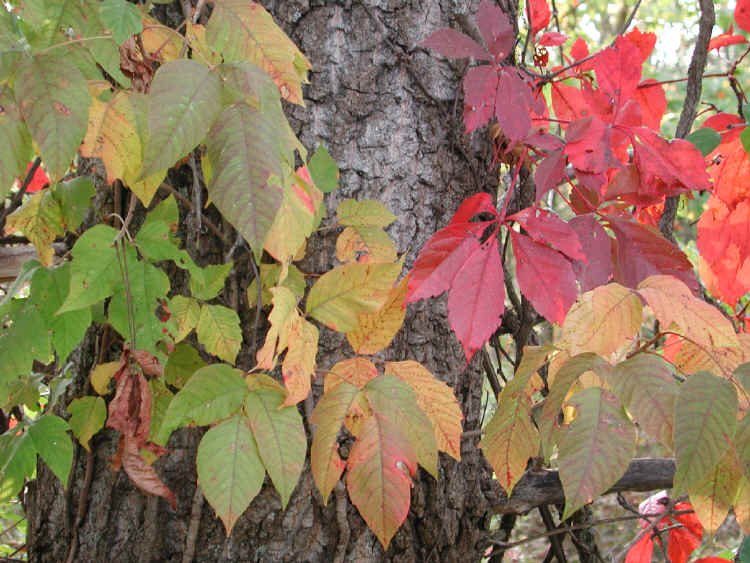poison ivy plant fall. Fall color, poison ivy,