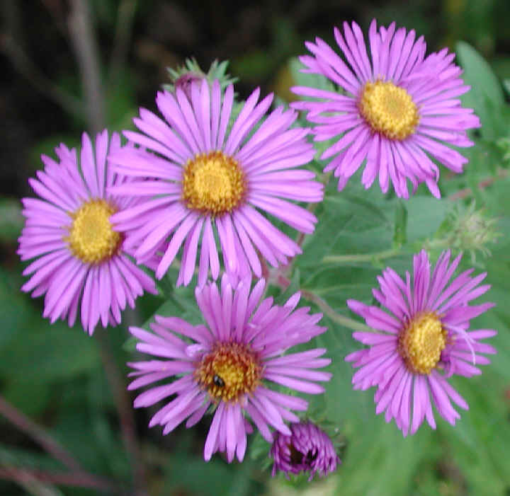 new england aster aster novaeangliae  wild flowers of sleepy, Beautiful flower