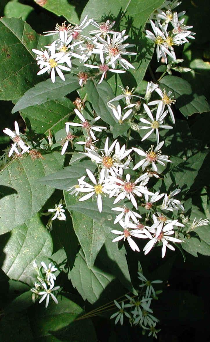 Aster White Wood Aster Divaricatus 01 Wild Flowers Of Sleepy
