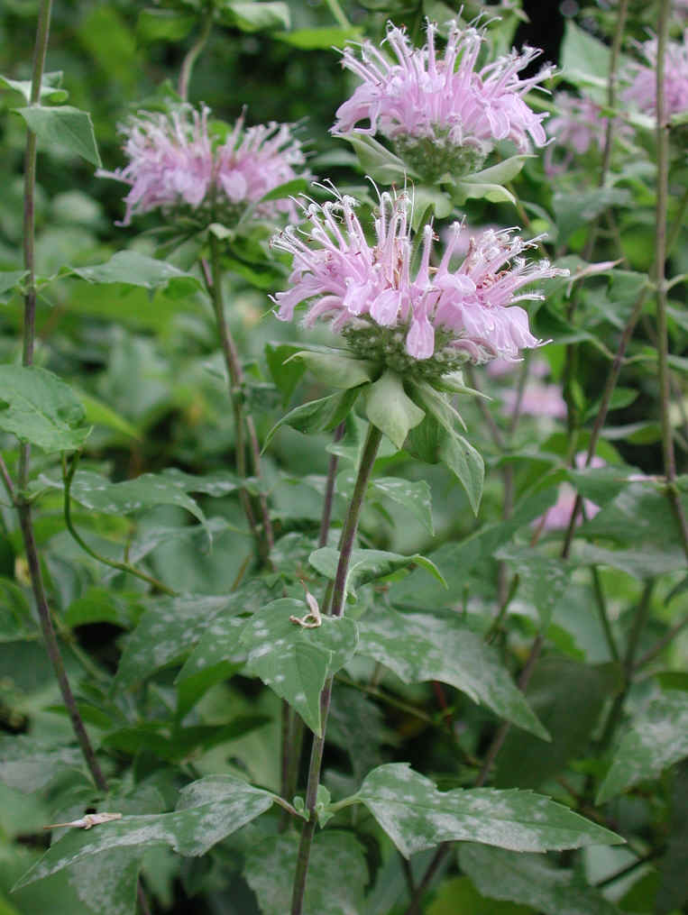 Wild Bergamot (Monarda fistulosa) - 08 - Wild Flowers of ...