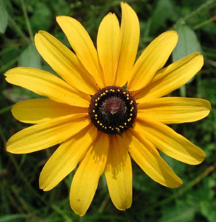Black Eyed Susan Rudbeckia Serotina 05 Wild Flowers
