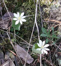 Bloodroot (Sanguinaria canadensis) - 16a