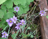 Blue-eyed Grass (Sisyrinchium angustifolium) - 10
