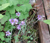 Blue-eyed Grass (Sisyrinchium angustifolium) - 11