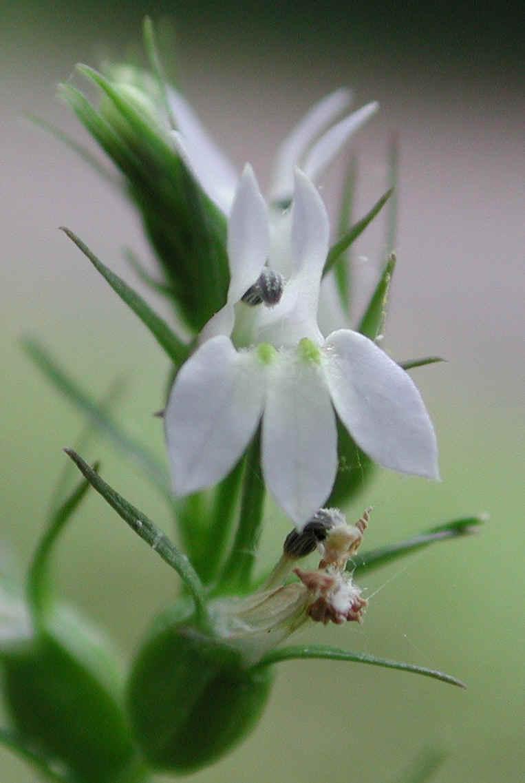 Indian Tobacco Lobelia Inflata 02 Wild Flowers Of Sleepy