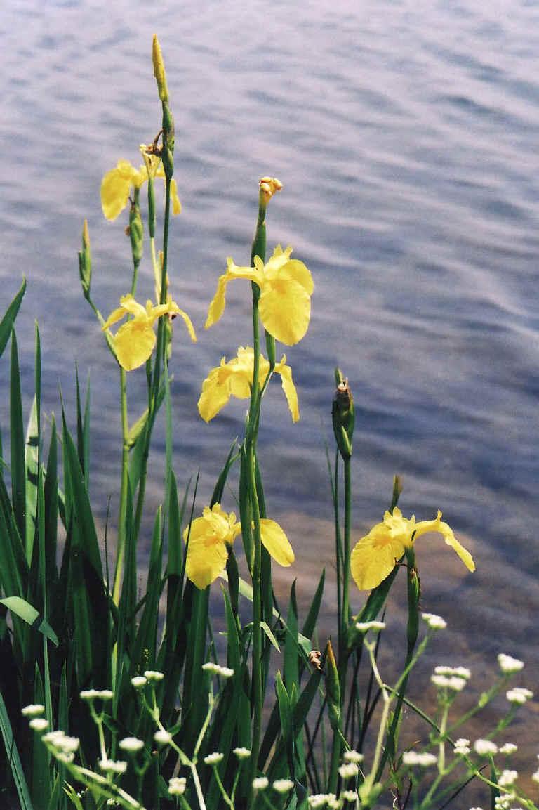 Yellow Iris Or Yellow Flag Iris Iris Pseudacorus 15 Wild