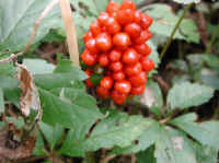 Jack-in-the-Pulpit (Arisaema triphyllum) - 16