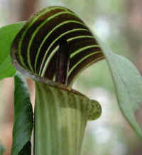 Jack-in-the-Pulpit (Arisaema triphyllum) - 02