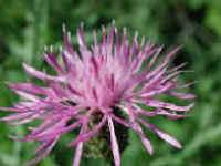 knapweed flowers images