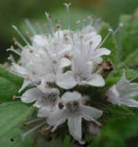 American Wild Mint (Mentha arvensis) - 05a