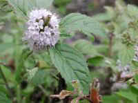 Mint, American or Wild (Mentha arvensis)