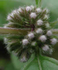 American Wild Mint (Mentha arvensis) - 10a