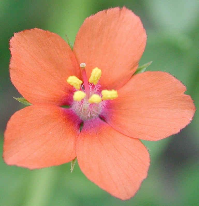 Scarlet Pimpernel (Anagallis avensis) - 01 - Wild Flowers ...