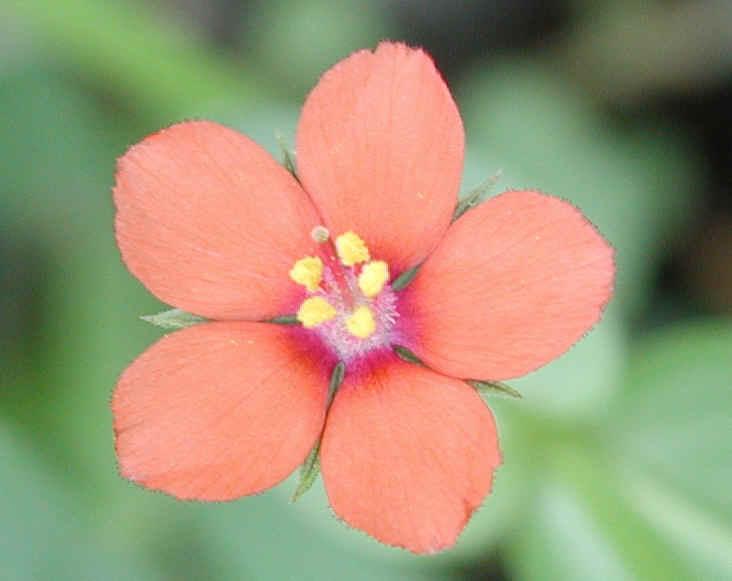 Scarlet Pimpernel (Anagallis avensis) - 03 - Wild Flowers ...