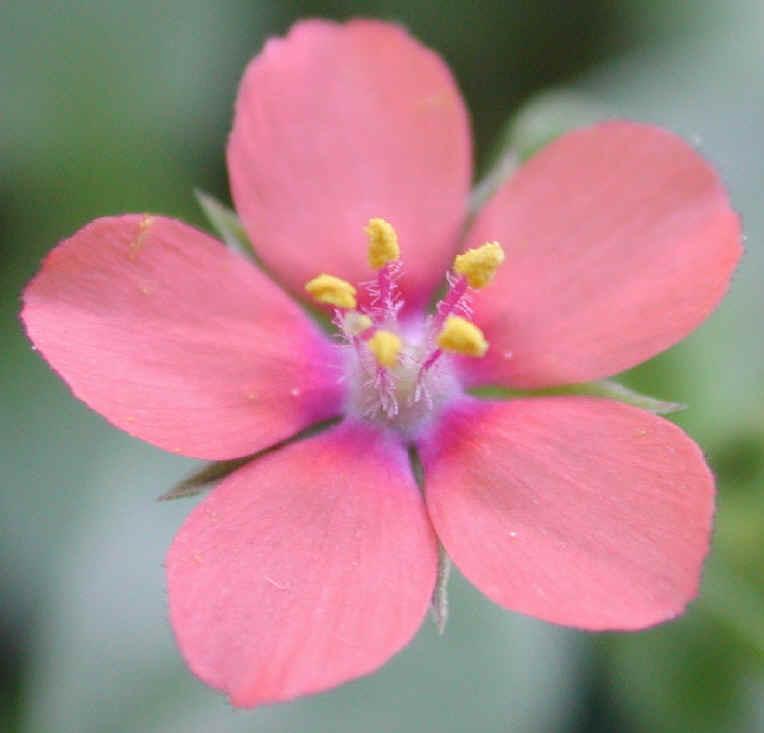 Scarlet Pimpernel (Anagallis avensis) - 06 - Wild Flowers ...