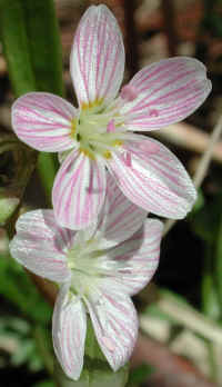 Spring Beauty or Springbeauties (Claytonia virginica) - 04