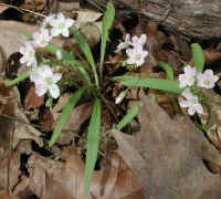Spring Beauty or Springbeauties (Claytonia virginica) - 09