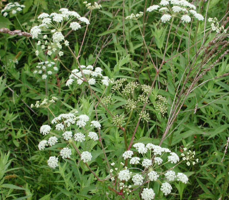 How to Identify Water Hemlock