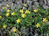 Yellow Wood-Sorrel (Oxalis stricta)