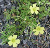 Yellow Wood-Sorrel (Oxalis stricta) - 08a