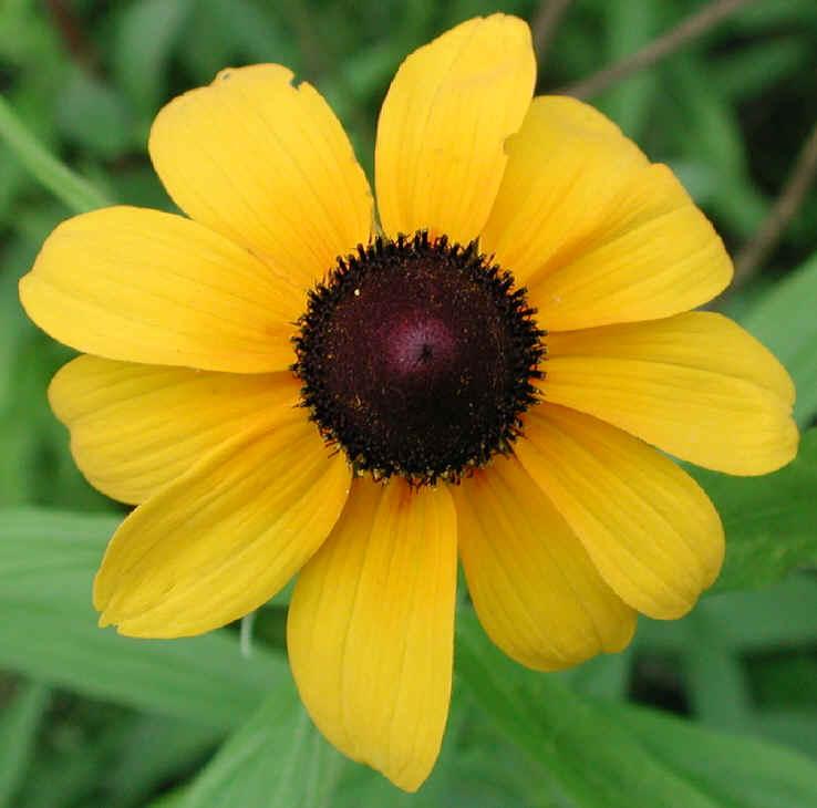 Black eyed susan rudbeckia serotina 02 wild flowers of sleepy black eyed susan rudbeckia serotina also called yellow coneflower and yellow daisy 02 mightylinksfo
