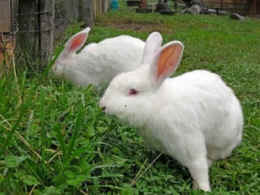 rabbits rescued vivisection
