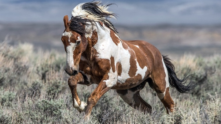 Meet Picasso One Of America S Most Famous Wild Horses