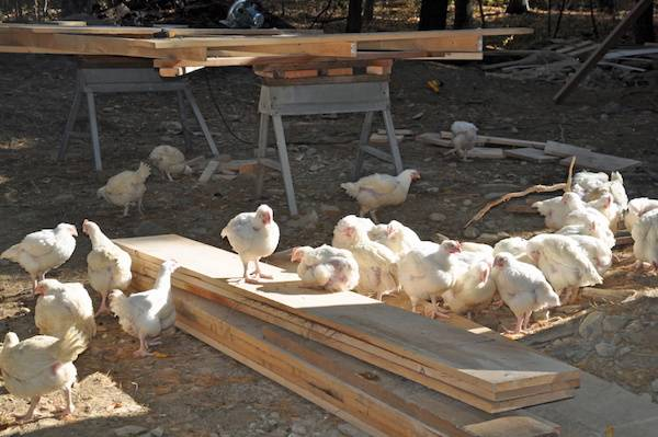 Ex-Kaporos Chickens Live Happily at And-Hof Sanctuary in Upstate New