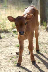 calf sanctuary rescue Freedom