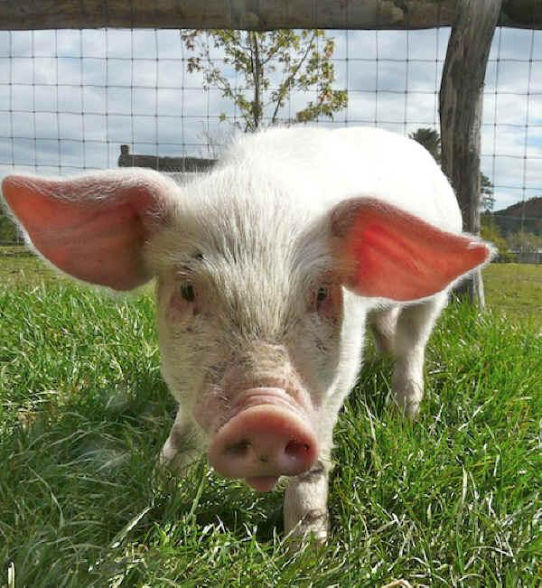 Stanley the Piglet