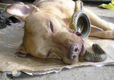 Pit Bull Saves Two Women From Deadly Cobra, Dies Wagging His Tail